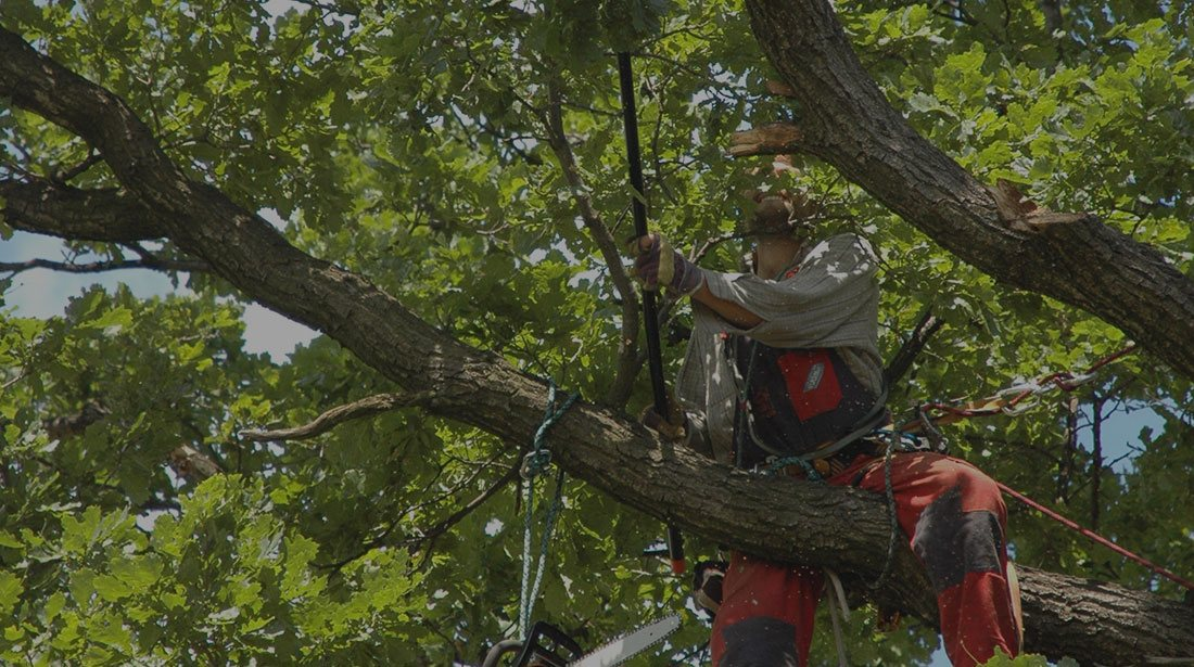 Inexpensive Tree Services: Tree cabling and bracing in San Gabriel Valley, Pacific Palisades and Long Beach